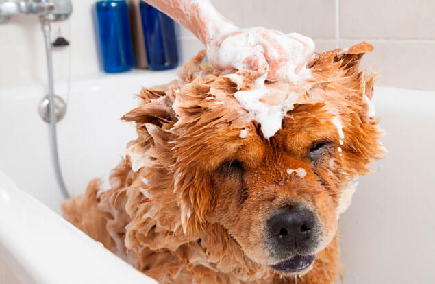 Bathing a dog. Bathing your dog  too frequently removes the natural oils that keep skin and fur healthy.