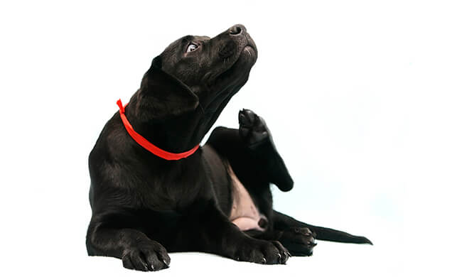Itching dog. Dog allergies are very common. Dogs get relief with Fish Oil, Curcumin and Lavender.