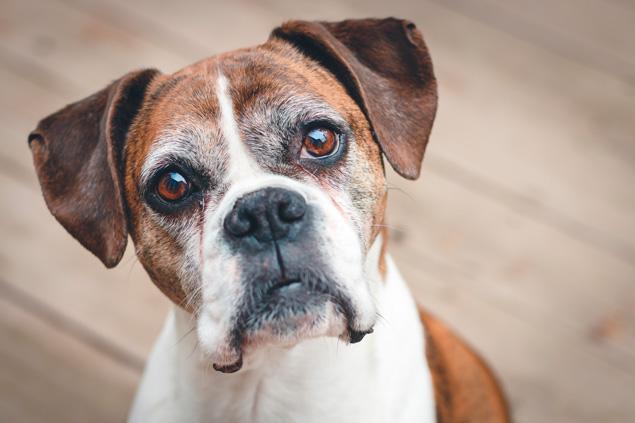 Senior Dog showing wear and tear of liver damage.