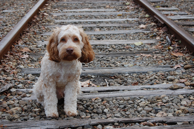Lost Dog on Train Tracks