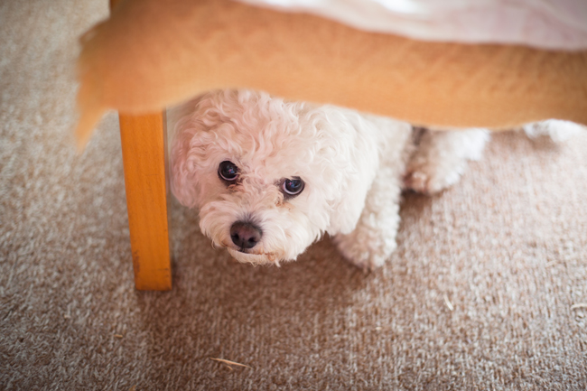Frightened dog hides under a table