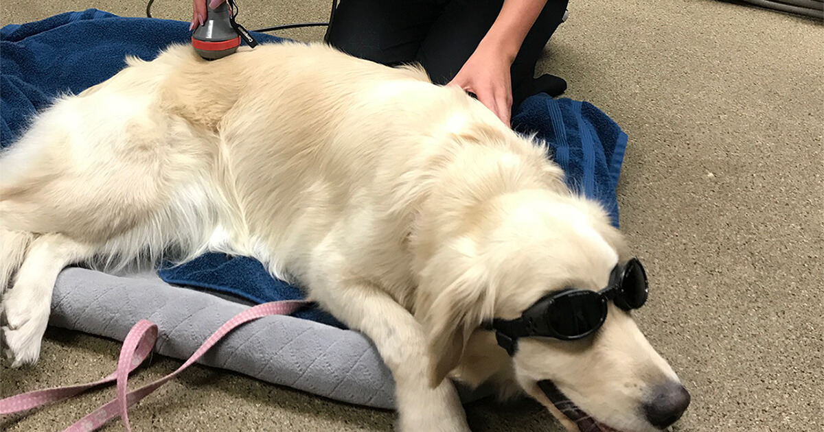 Well Dog patient having cold laser treatment