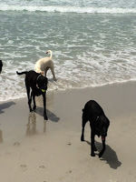 Beach dogs love Fresno too - they visit DUI lawyer Tina Barberi