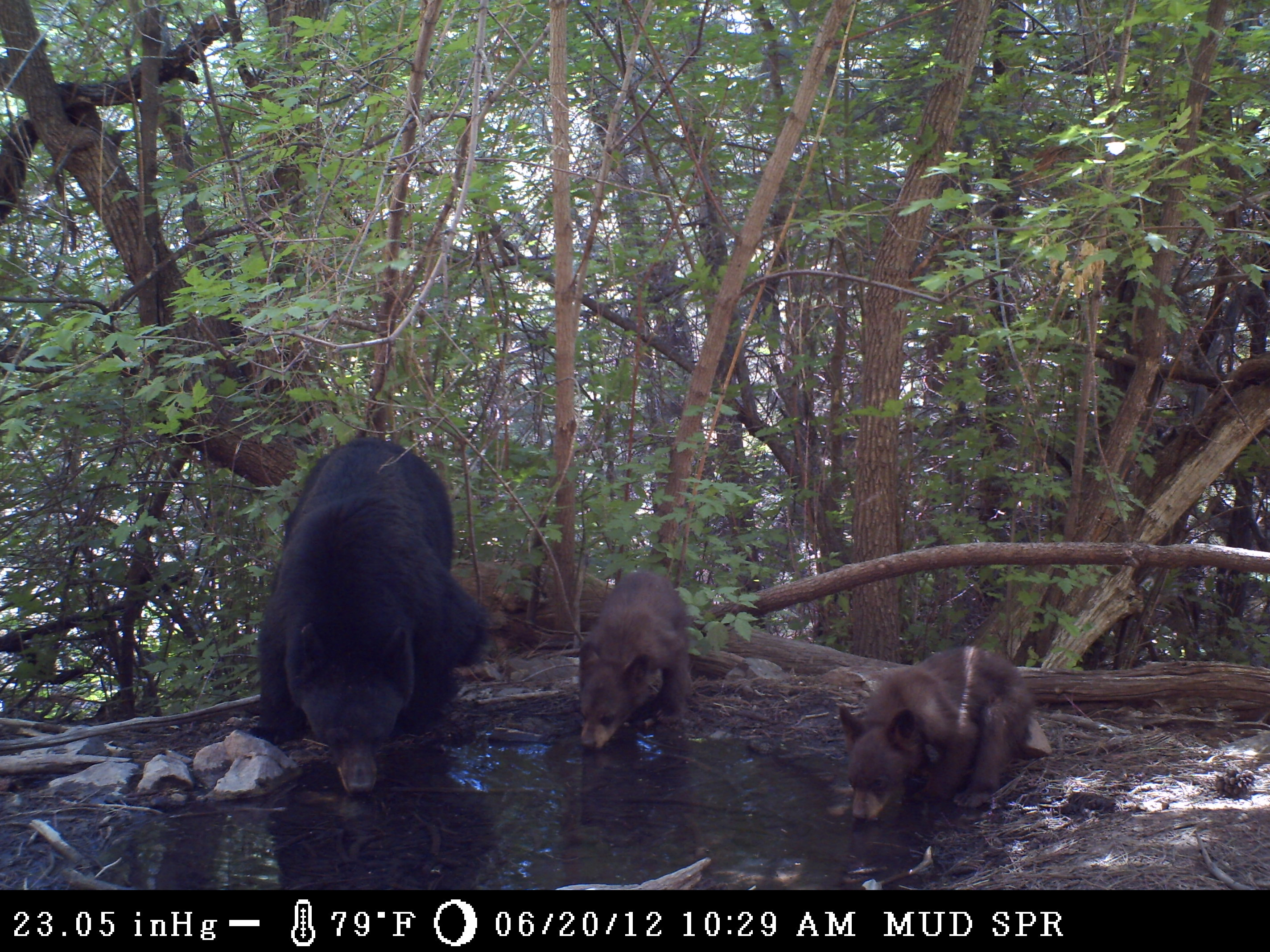 Bears visiting a spring in the Sandia Mountain region.