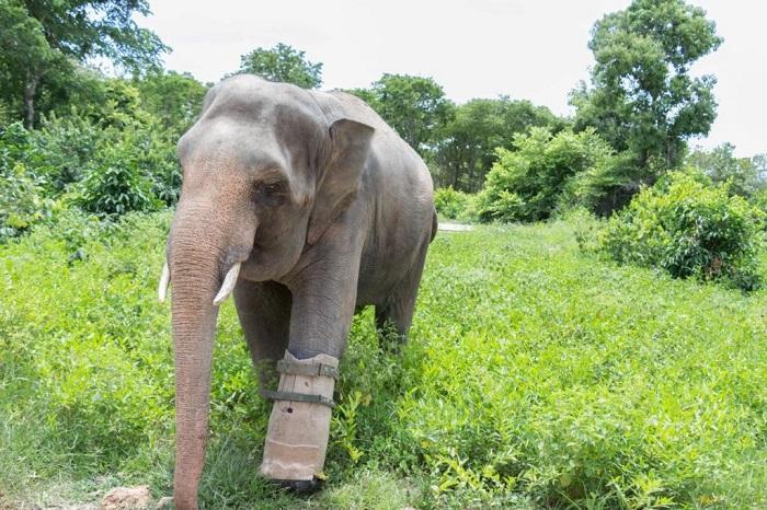 3-legged elephant Phnom Tamao Wildlife Rescue Center (Phnom Penh)