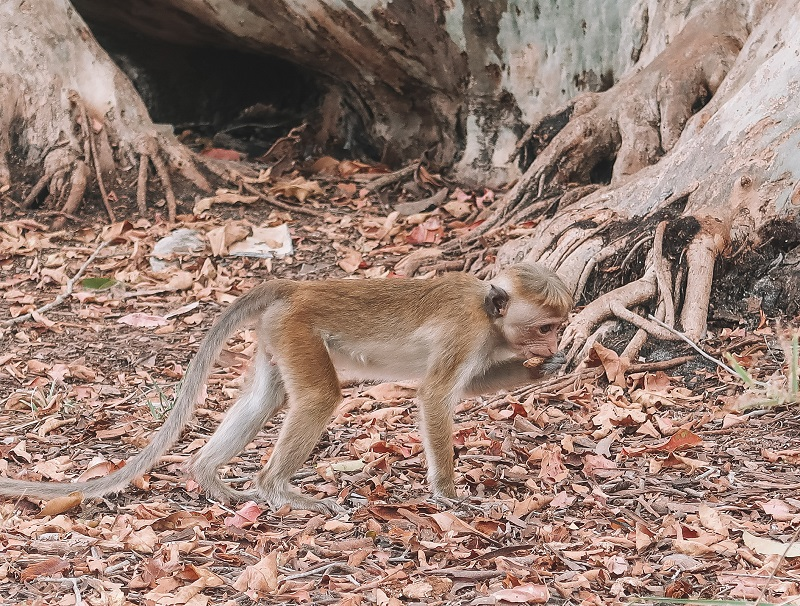 Monkeys at Wilpattu