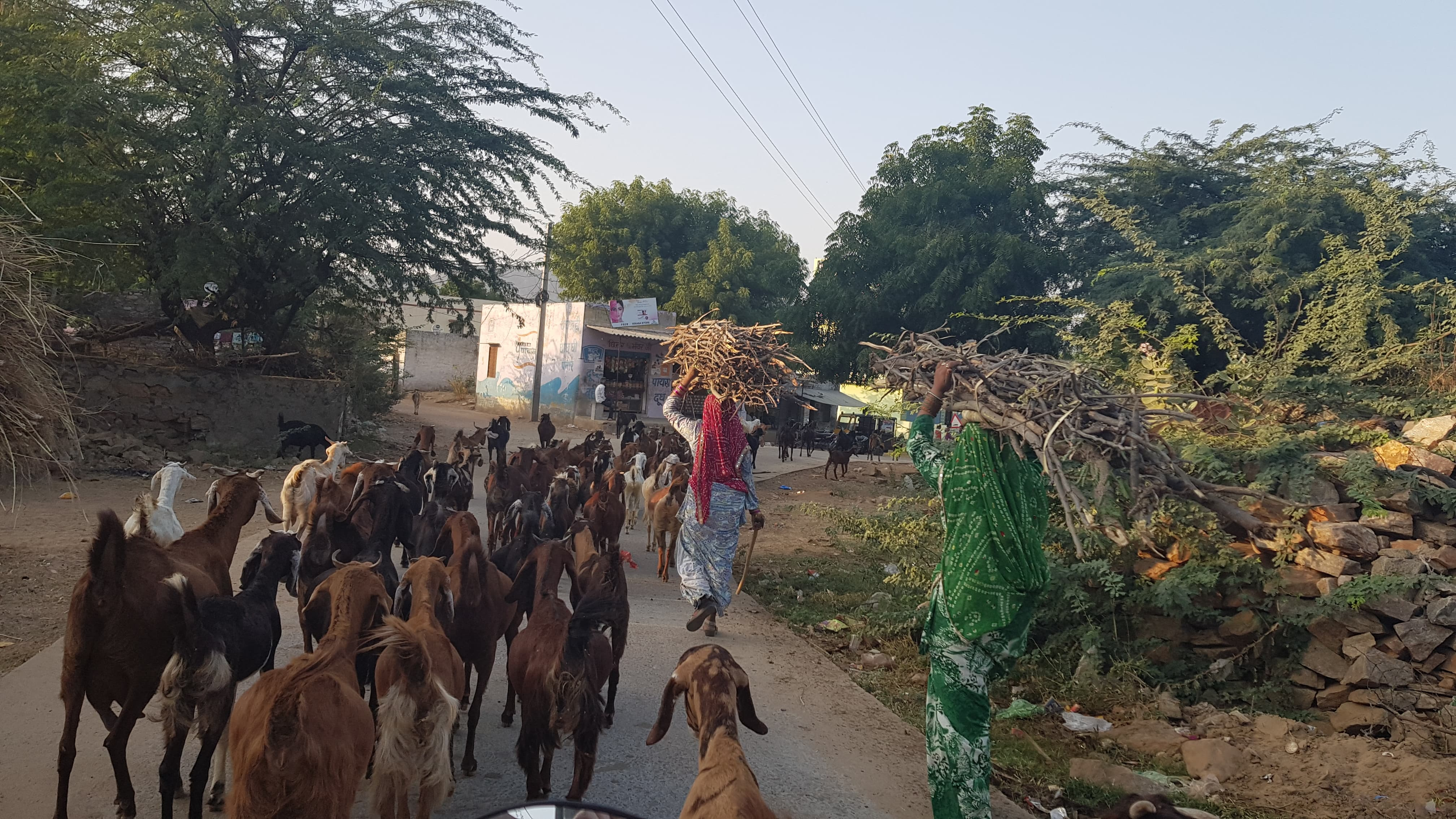 goats on the road in pushkar