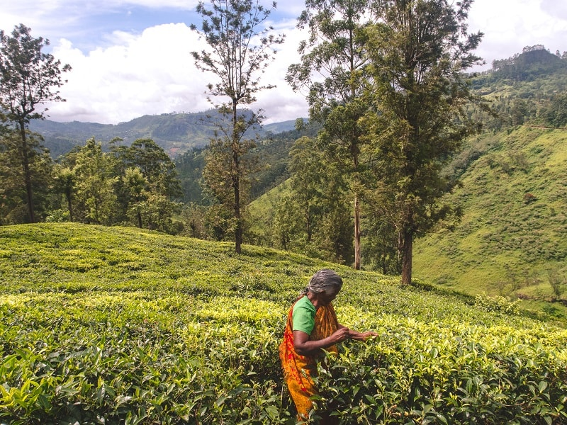 Nuwara Eliya tea fields