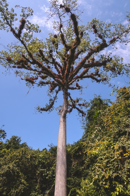 national tree of guatmala