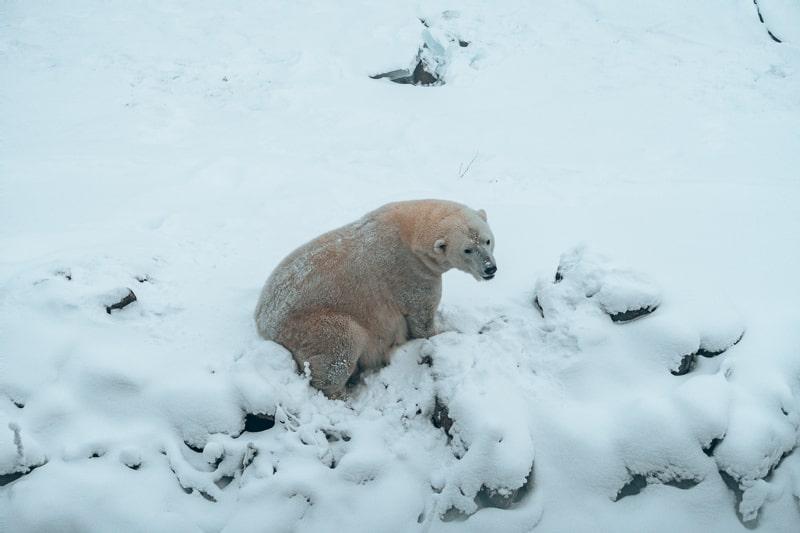 polar bear at ruana wildlife park in finland