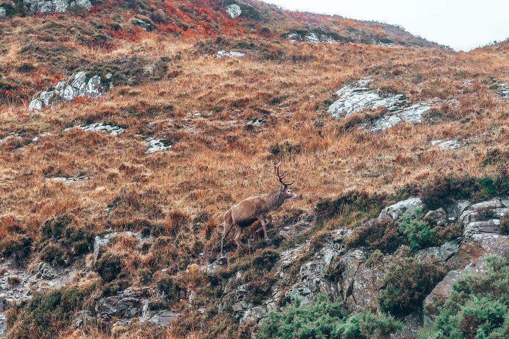 wild deer on nc500