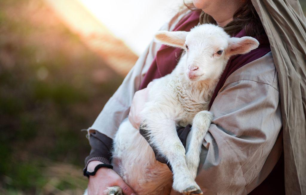 Lamb holding, Kerry, Ireland