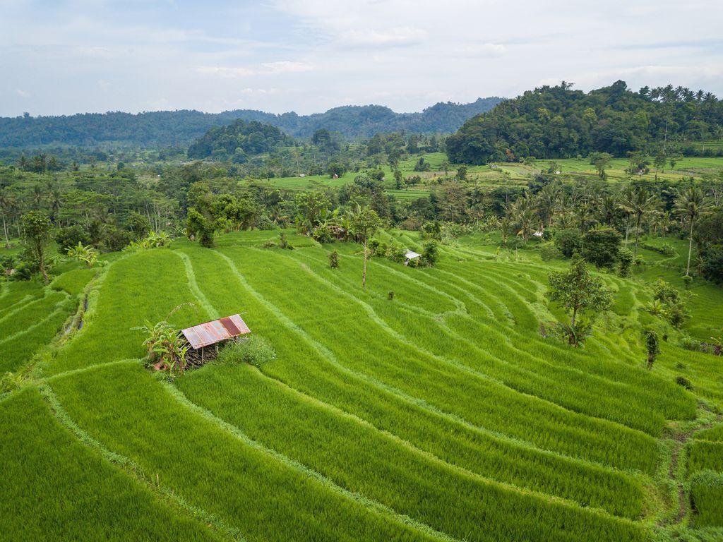 Rice Paddies, Indonesia, Sideman