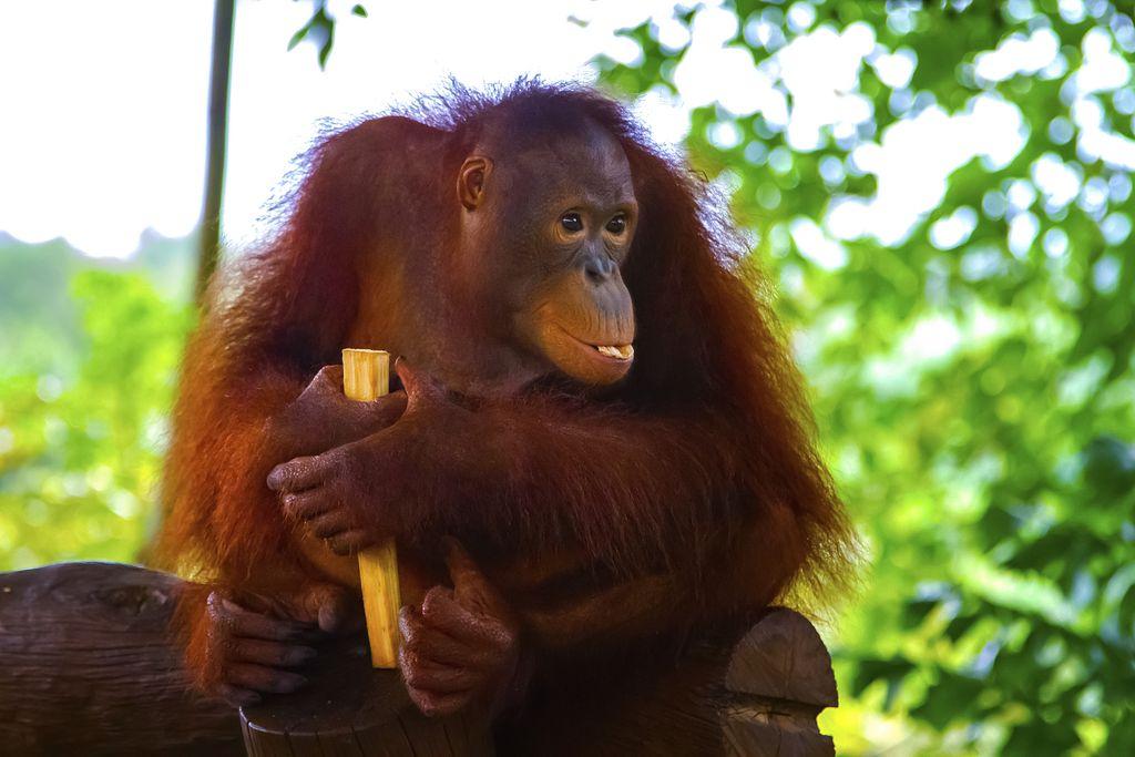 Breakfast with Orangutan at Bali zoo