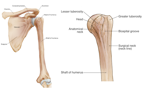 Elbow Arm Anatomy