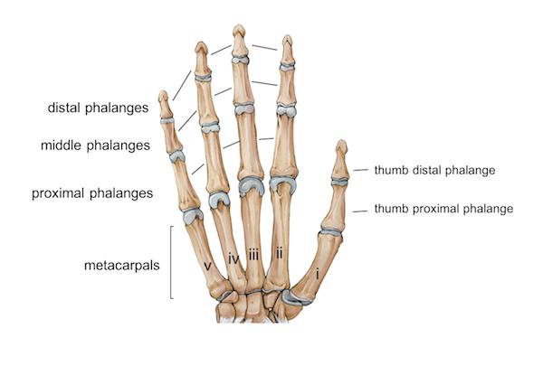 Brilliant Wrist Hand Anatomy Wiring Digital Resources Funapmognl
