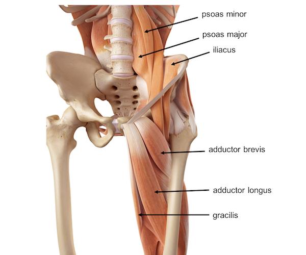 Skeleton Pelvis Muscle Diagram - DIY Enthusiasts Wiring Diagrams •