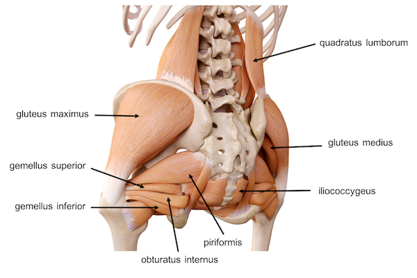 Pelvis Hip Anatomy