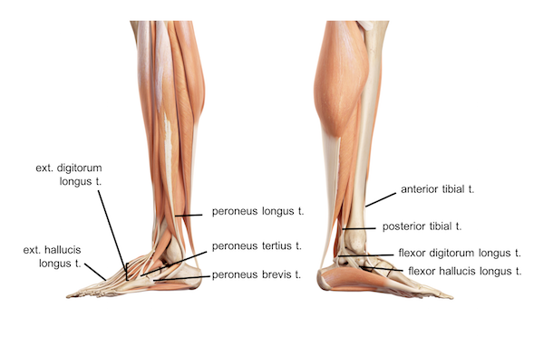 Femur Knee Lower Leg Anatomy