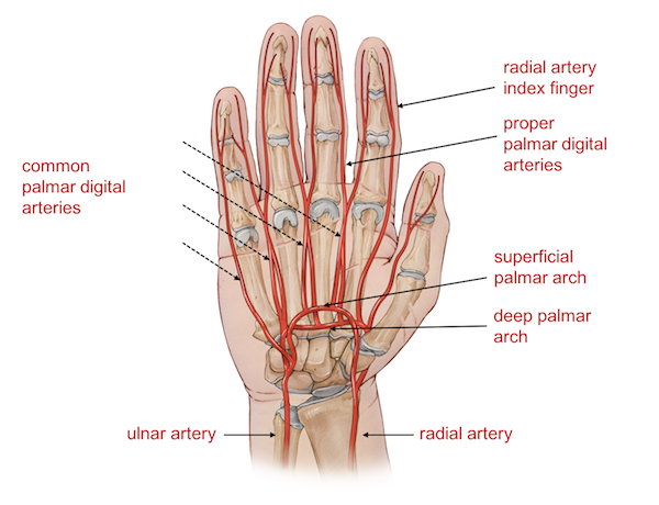 Wrist Tendons Diagram Control Which Finger - DIY Enthusiasts Wiring ...