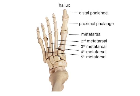 Diagram Diagram Ankle Bones Full Version Hd Quality Ankle Bones Tilediagram Gsxbooking It
