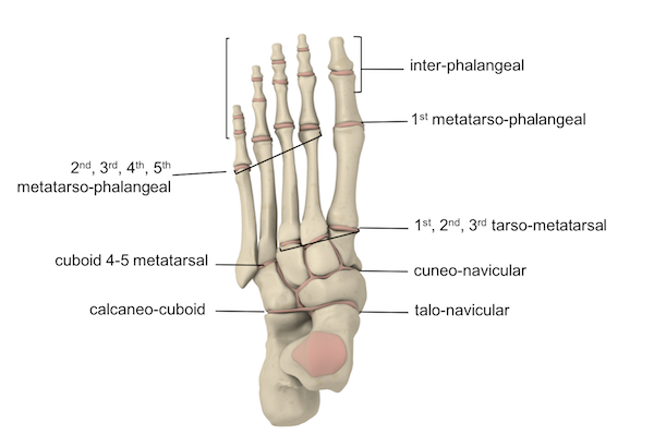 Ankle Foot Anatomy