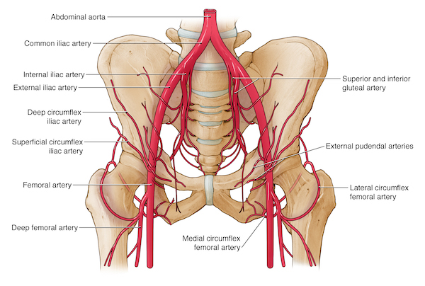 Aorto Ilio Femoral Artery Diagram - Block And Schematic Diagrams •