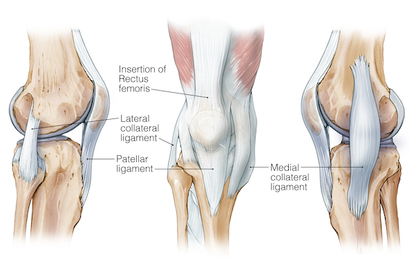 Femur Knee Lower Leg Anatomy