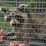 Rhode Island Raccoon Trapping and Control