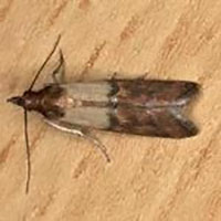 Rhode Island Indian Meal Moth Control