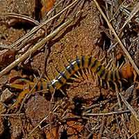RI Centipede Control Rhode Island Millipede
