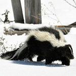 Rhode Island Skunk Trapping and Control