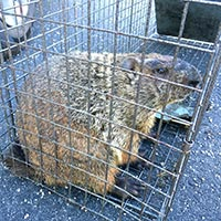 Rhode Island Ground Hog Control and Humane Trapping