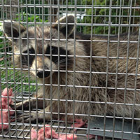 Raccoon Trapping and Exclusion in Rhode Island