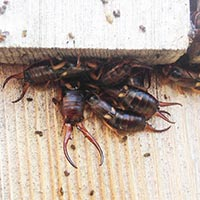 RI Earwig Elimination Control