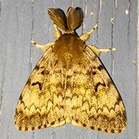 Rhode Island Gypsy Moth Control