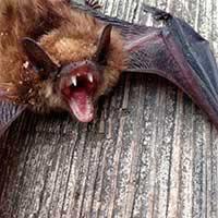 RI Bat Exterminator