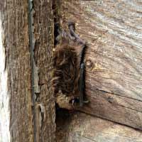 Rhode Island Bat Exterminator