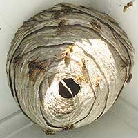 Yellow Jacket Bees in Wall