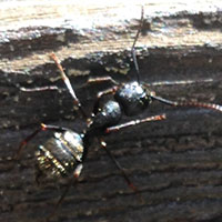 Carpenter Ant Elimination in RI