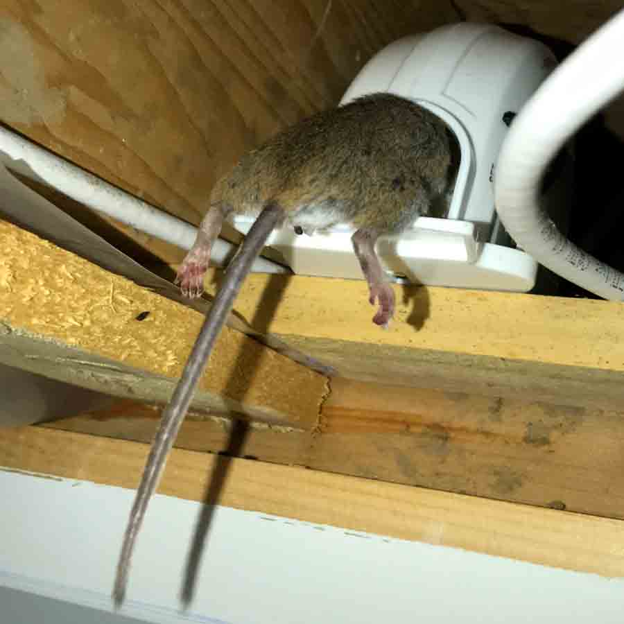 Large Mouse caught in a trap