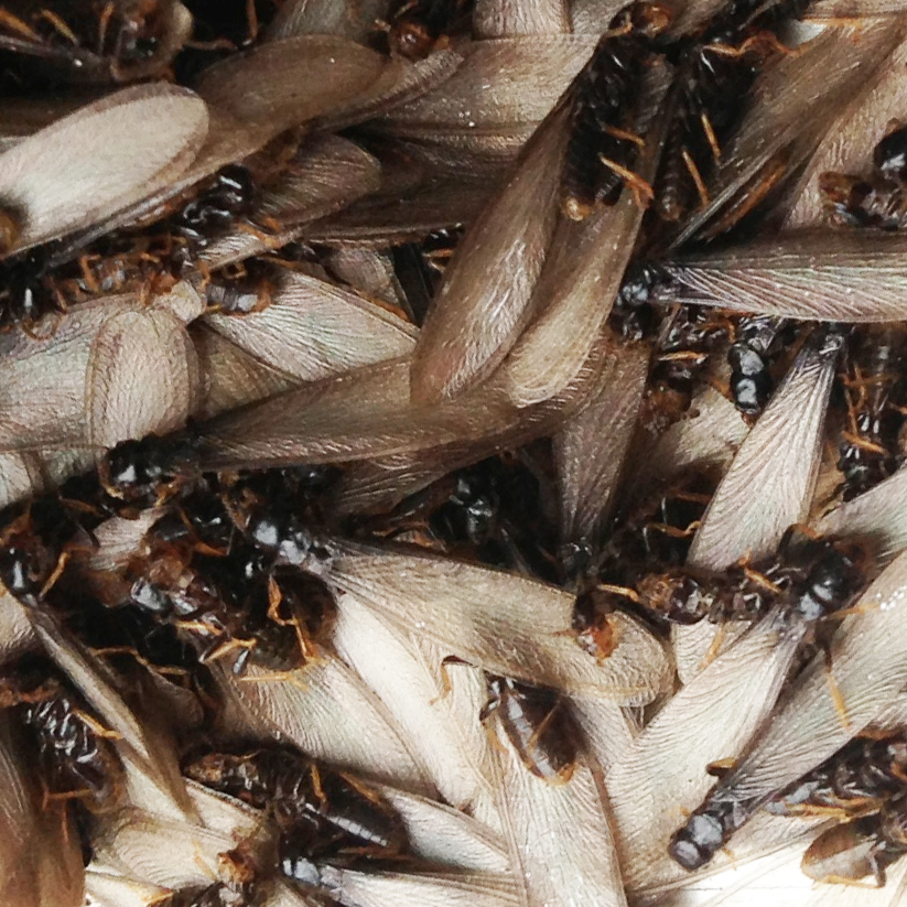 Termite swarmers in a pile