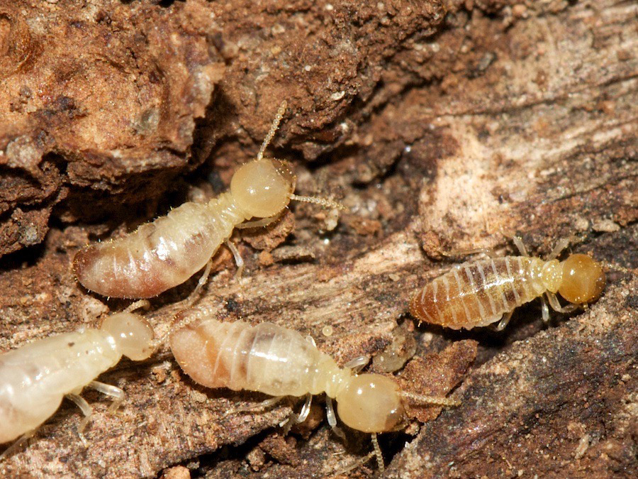 Close up of adult termites