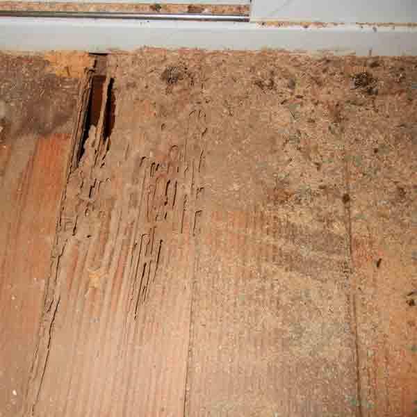 Termite Hardwood Floor