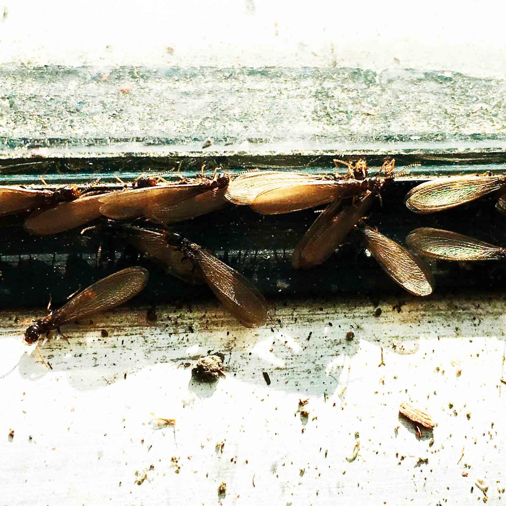 flyer termites