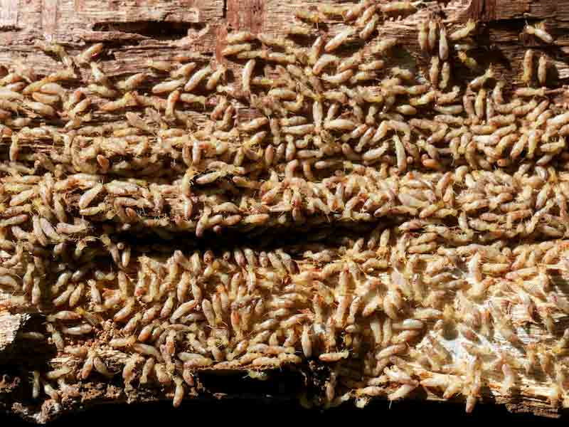 major termite colony