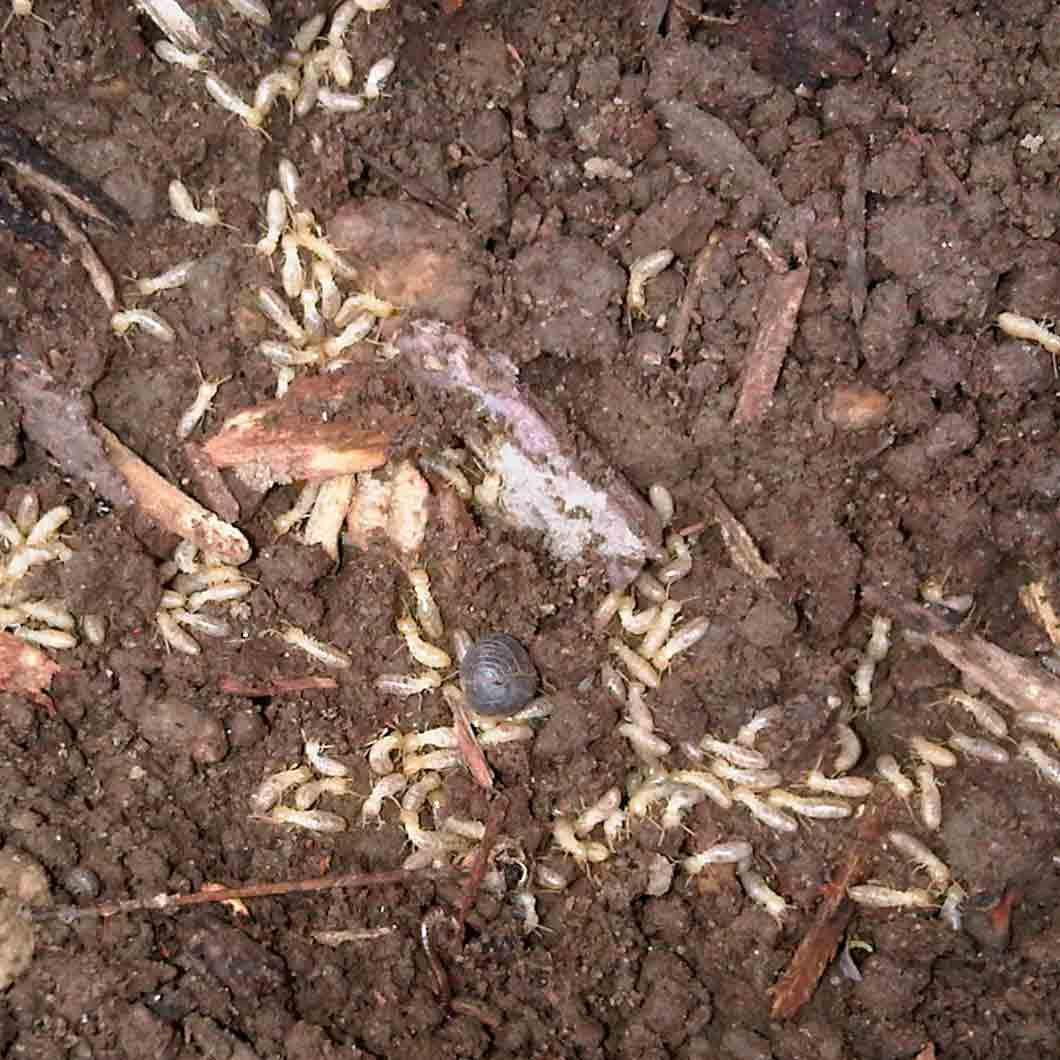 Termites uncovered in the garden