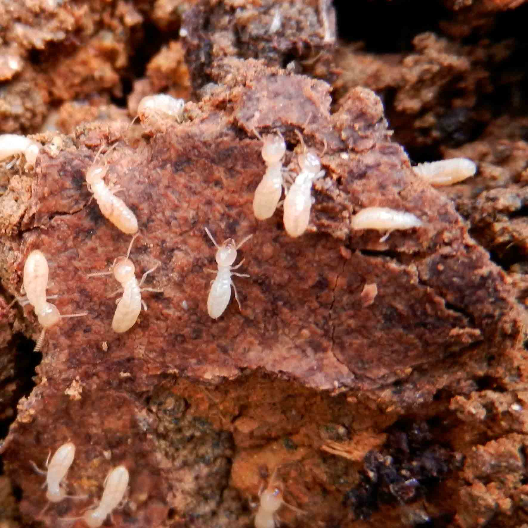 Adult Termites