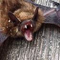 RI Bat Control