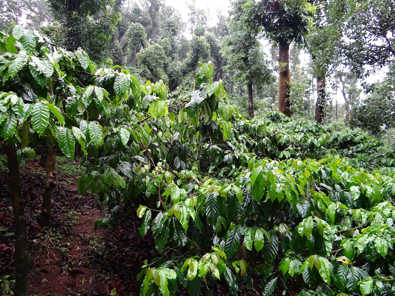 Sustainable coffee plantation